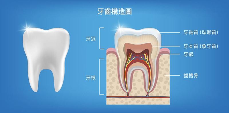 牙齒構造圖-牙釉質-琺瑯質-牙本質